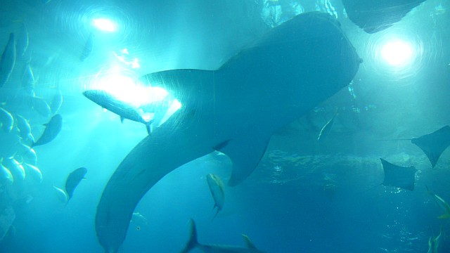 ジンベイザメを下から見る
